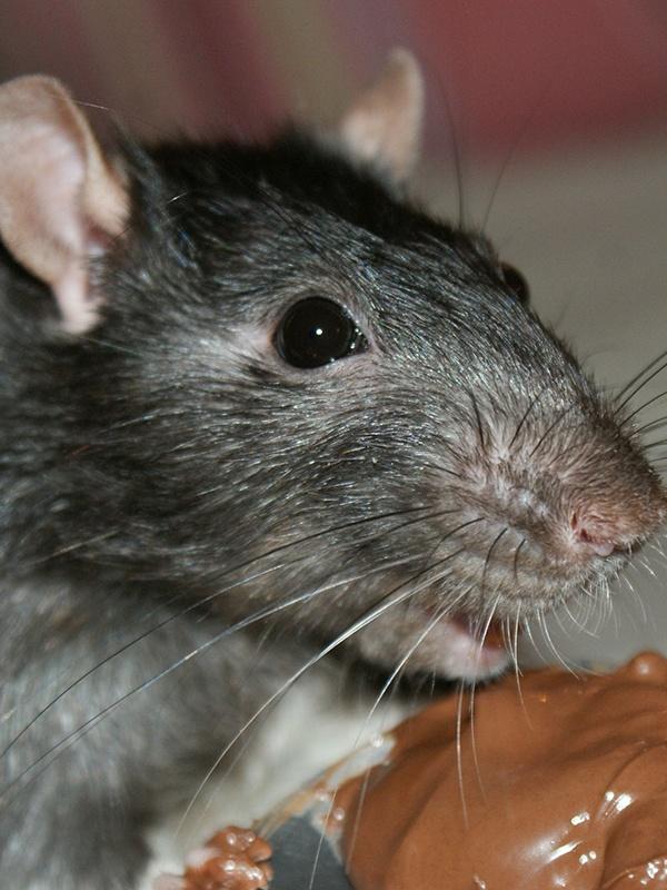 rat pest control wokingham